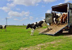 Krowy transport